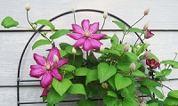 clematis 200w